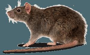 Rats & Rodents
